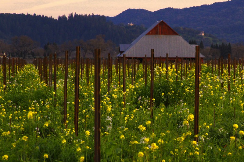 """Central Valley at Dusk"" - Early Spring in the Napa Valley.  The pruned vines are just at bud break. The valley floor, afire in floral Mustard and wild flowers is a wonderful palate before the lens. This is truly God's country."