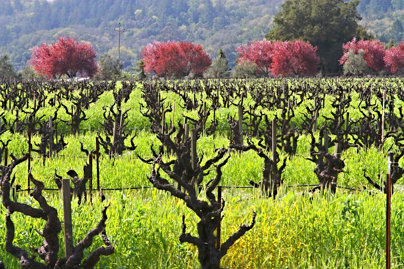 Early Spring in the Alexander Valley - Among the pruned vines just at bud break. The valley floor, afire in floral Mustard and wild flowers is a wonderful palatte before the lens. This is truly God's country.