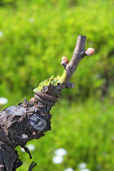 """Bud Break"" Early Spring in the Napa and Alexander Valleys - Among the pruned vines just at bud break. The valley floor, afire in floral Mustard and wild flowers is a wonderful palate before the lens. This is truly God's country."