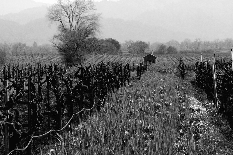 """""""Clos du Bois"""" - Early Spring in the Alexander Valley - A more traditional rendering, among the pruned vines just at bud break."""