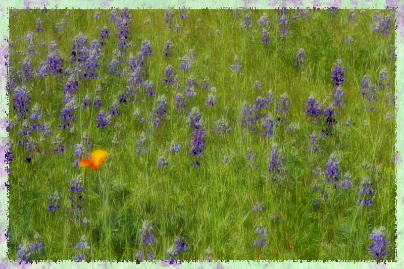 """Solitary Bloom"" - A lone California Poppy finds home among the Blue Lupine - Clos du Bois.  Early Spring in the Alexander Valley - The valley floor, afire in floral Mustard and wild flowers is a wonderful palatte before the lens. This is truly God's country."
