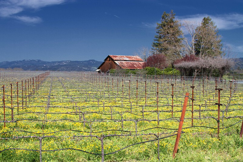 """""""Rusty Roof"""" - Early Spring in the Napa and Alexander Valleys - Some views from aloft a Hot Air Balloon, others among the pruned vines just at bud break. The valley floor, afire in floral Mustard and wild flowers is a wonderful palate before the lens. This is truly God's country."""
