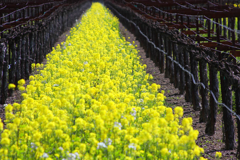 Early Spring in the Napa and Alexander Valleys - Some views from aloft a Hot Air Balloon, others among the pruned vines just at bud break. The valley floor, afire in floral Mustard and wild flowers is a wonderful palate before the lens. This is truly God's country.