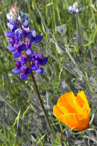 "Blue Lupine and California Poppy - ""Clos du Bois""  - Alexander Valley"