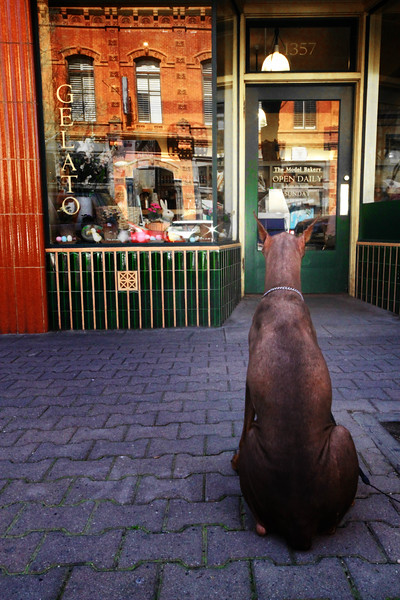 "Tuesday 4-27-10 - ""Patience"" - This Doberman never budged when we approached and walked behind him.  As I captured several images, his patience was simply amazing - staring intently through the windows of this Gelato shop seeking a glimpse of his master.  Hope he got a taste in reward for such perseverance!   ......Downtown stroll, St. Helena."