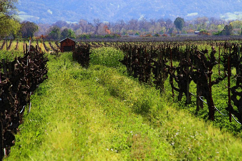 """5-02-10 - """"Clos du Bois"""" - Early Spring in the Alexander Valley - Walking among the pruned vines just at bud break."""