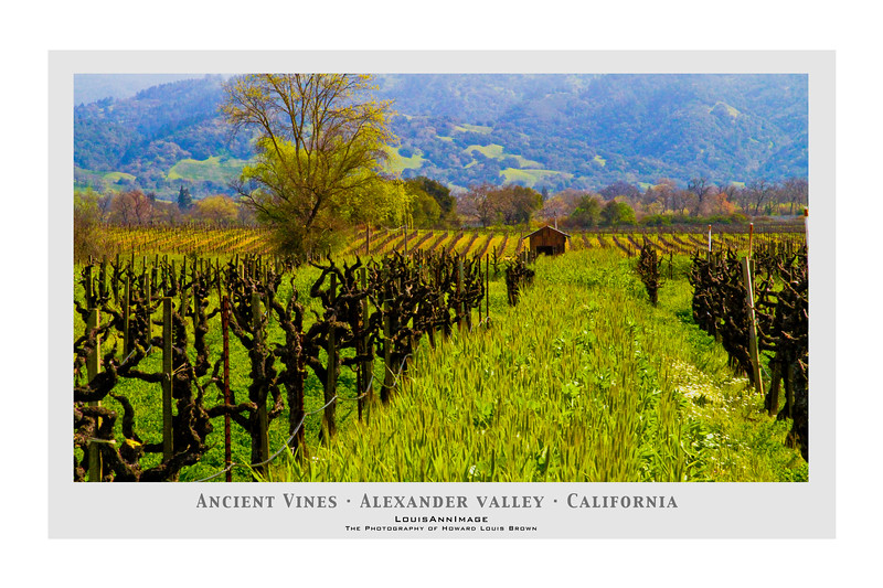 Contri Date: March 3, 2011 - Looking East from Clos Du Bois, ancient vines are just at bud break - Early Spring in Wine Country - Alexander Valley, California - From our archives, March, 2010