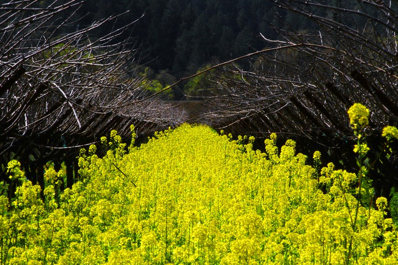 """The Mustard"" - Early Spring in the Napa and Alexander Valleys - Some views from aloft a Hot Air Balloon, others among the pruned vines just at bud break. The valley floor, afire in floral Mustard and wild flowers is a wonderful palate before the lens. This is truly God's country."