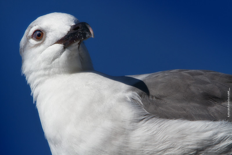 Gull - Tarpon Springs, Florida