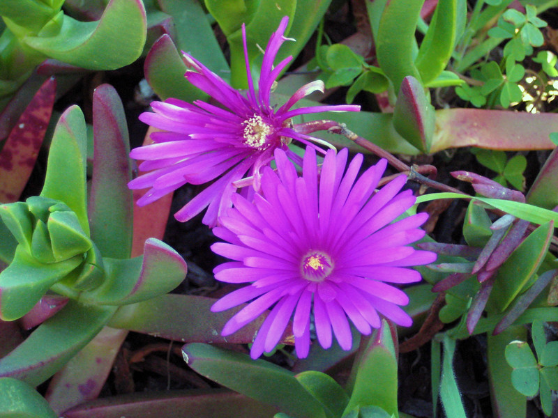 """""""Bloom at Pigeon Point"""" - Pacific Coast Highway - Canon Elph"""