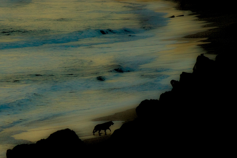 Posted 6-8-10. This Golden Retriever  was at home in the surf - Dusk, near Half Moon Bay, California
