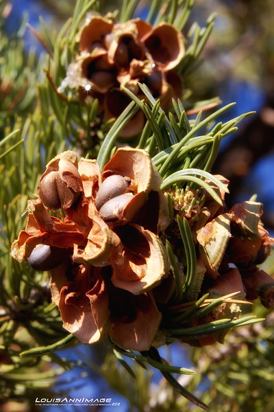 Pinyon Pine Cone & Pine Nuts.. Capital Reef National Park - Torrey, Utah