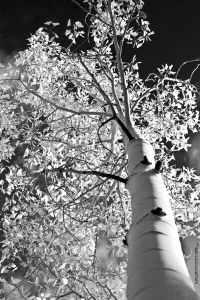 "Aspen in Black & White...<br /> Dixie National Forest, above the Scenic Byway 12, south of Torrey, Utah. <br /> See More of Arizona & Utah - ""The Southwestern Sun"" here: <a href=""http://smu.gs/RfQCCf"">http://smu.gs/RfQCCf</a>"
