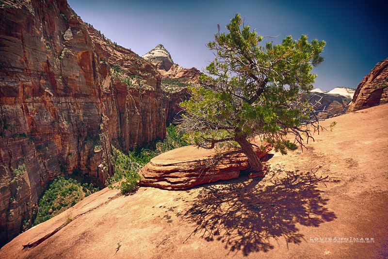 Ancient Pinion Pine ~ Canyon Overlook, Zion National Park, Utah