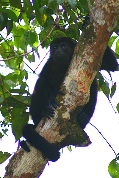 Howler Monkey watches the river from high atop the jungle canopy.. along the canal, north of Puerto Limon, Costa Rica.