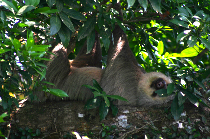 The two toe'd sloth sound asleep.. along the canals, North of Puerto Limon, Costa Rica.