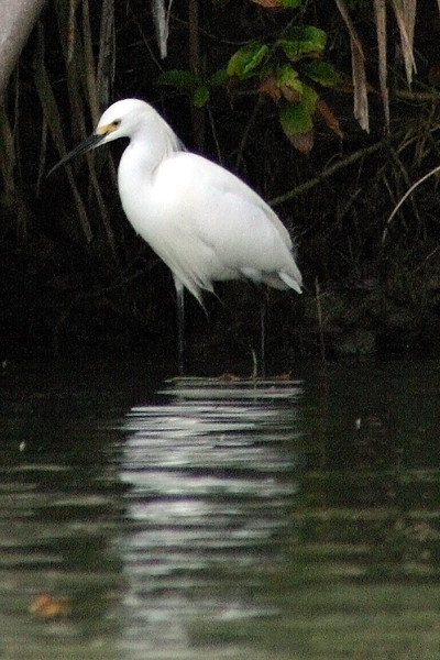 Egret reflections - Canals, North of Puerto Limon, Costa Rica