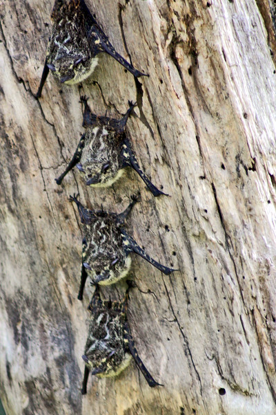 Tiny Bats cling to a tree trunk.. along the canal, north of Puerto Limon, Costa Rica.