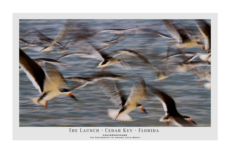 """Contri Date: April 10, 2011 - At the slightest upset, Black Skimmers launch in unison from the water's edge.  City Beach Park, Cedar Key, Florida<br /> Visit our Cedar Key Gallery at: <a href=""""http://louisannimage.smugmug.com/Travel/Our-America/Cedar-Key-Old-Floridas-Big/"""">http://louisannimage.smugmug.com/Travel/Our-America/Cedar-Key-Old-Floridas-Big/</a><br /> Thanks,  HB"""