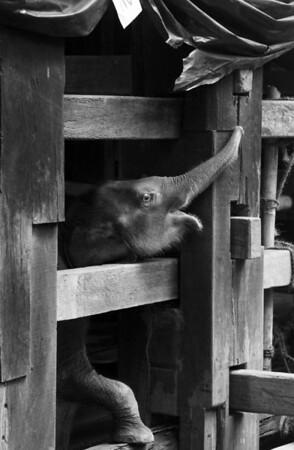 © 2011 KT WATSON Baby elephant at Fort Cochin animal sanctuary. Cochin, India.