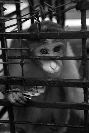Caged monkeys at Fort Cochin animal sanctuary, Cochin.   © 2011 KT WATSON