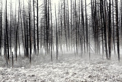 Mist in the trees, Yellowstone National Park