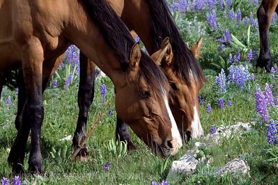 Wild Horses, Pryor Mountain Mustangs, in the wildflowers,