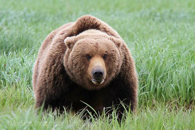 Coastal grizzley Bear Katmai Alaska