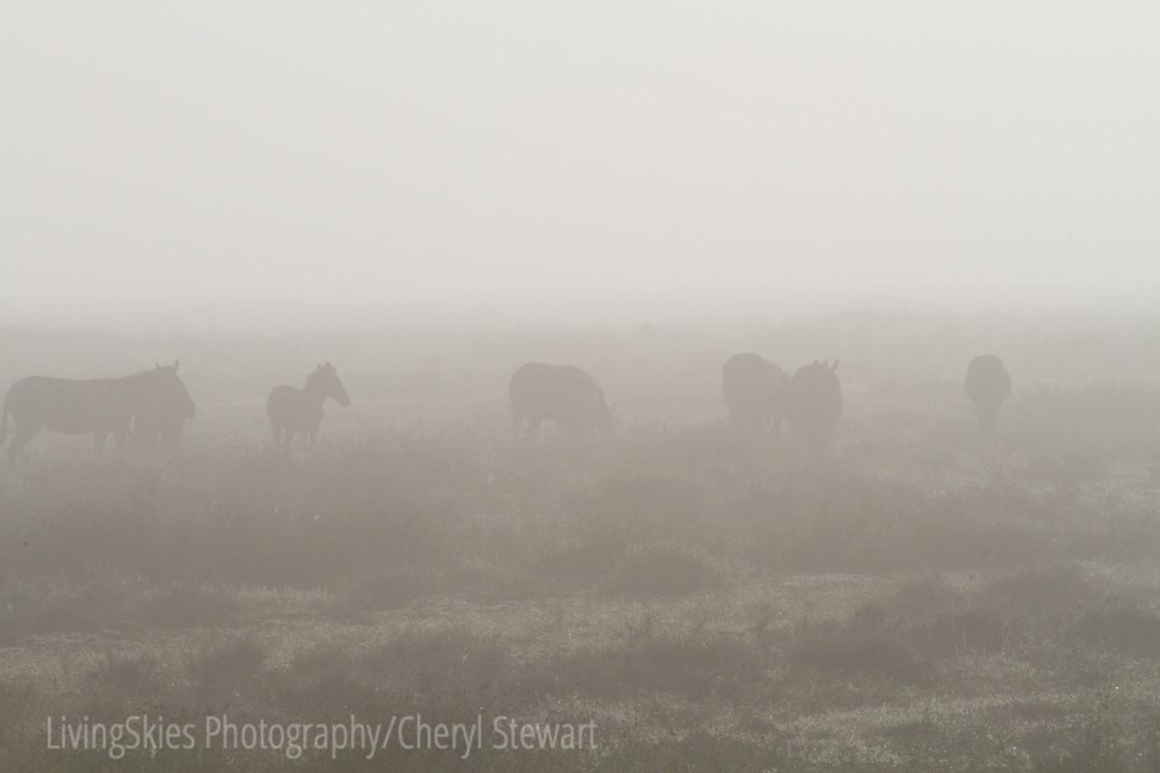 Zebra in the early morning fog.