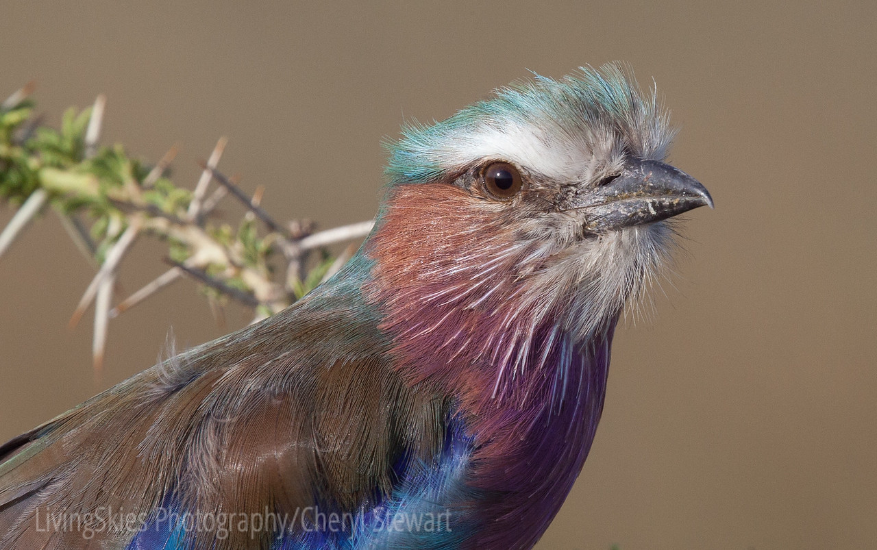 Lilac Breasted Roller, Tanzania.