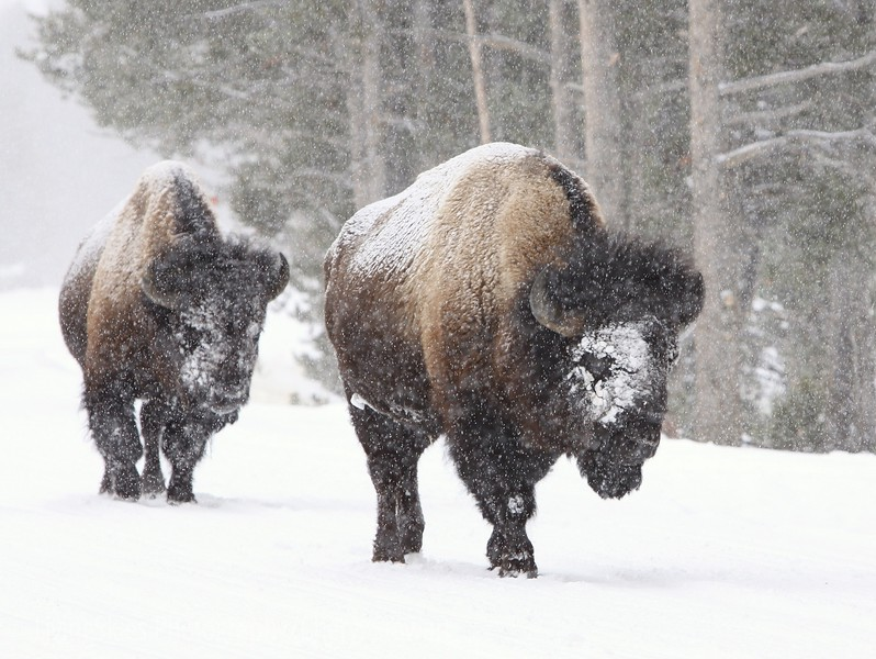 Bison in the snow, Yellowstone Park