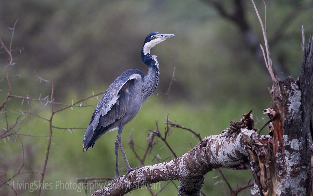 Black Headed Heron,  Tanzania