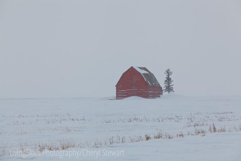 Red barn in white snow & blowing snow, Saskatchewan Canada