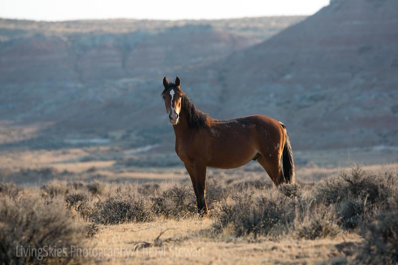 Wild horses, McCulloch Peaks Wyoming