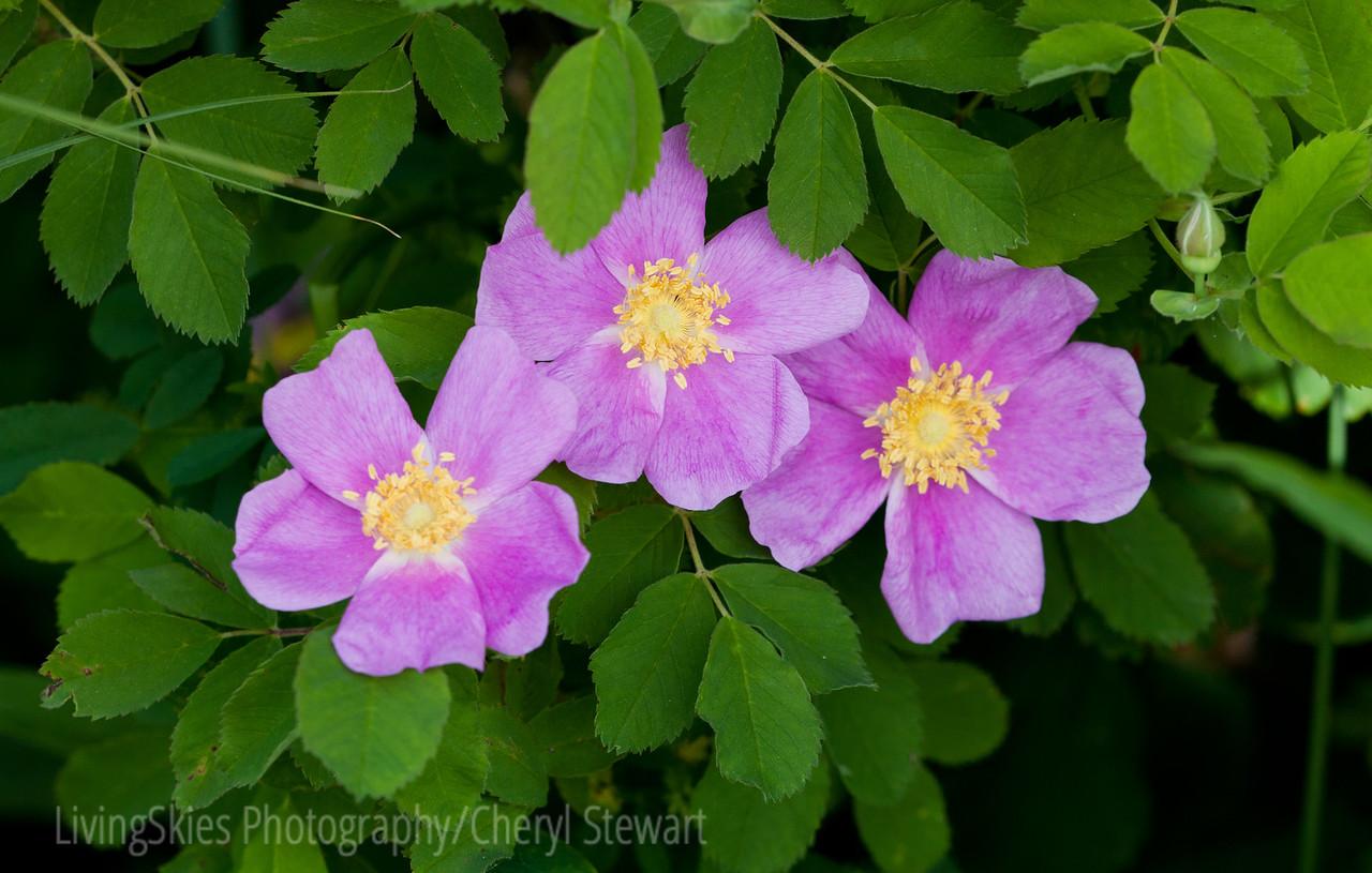 Wild roses - Spruce Woods Park, Manitoba