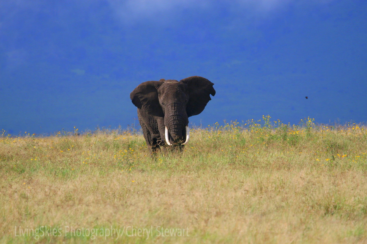 We sat and waited as this big bull Elephant made his way towards us through the grass and flowers.