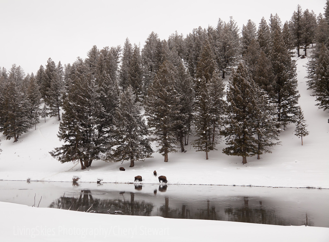 Bison on the river, Yellowstone