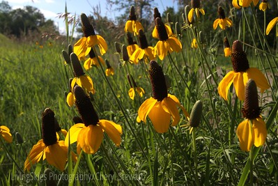 Cone flowers grow wild along the roadside, Buffalo Pound Park, Saskatchewan Canada