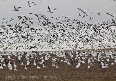 Snow geese take flight, Saskatchewan Canada
