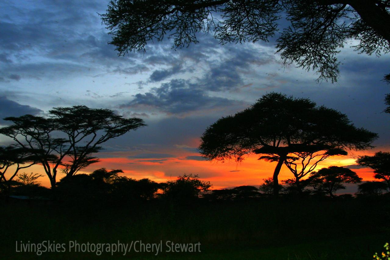 Acacia trees at sunset