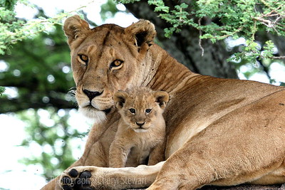Tanzania, Africa, Lioness and very young cub watch us from a kopie