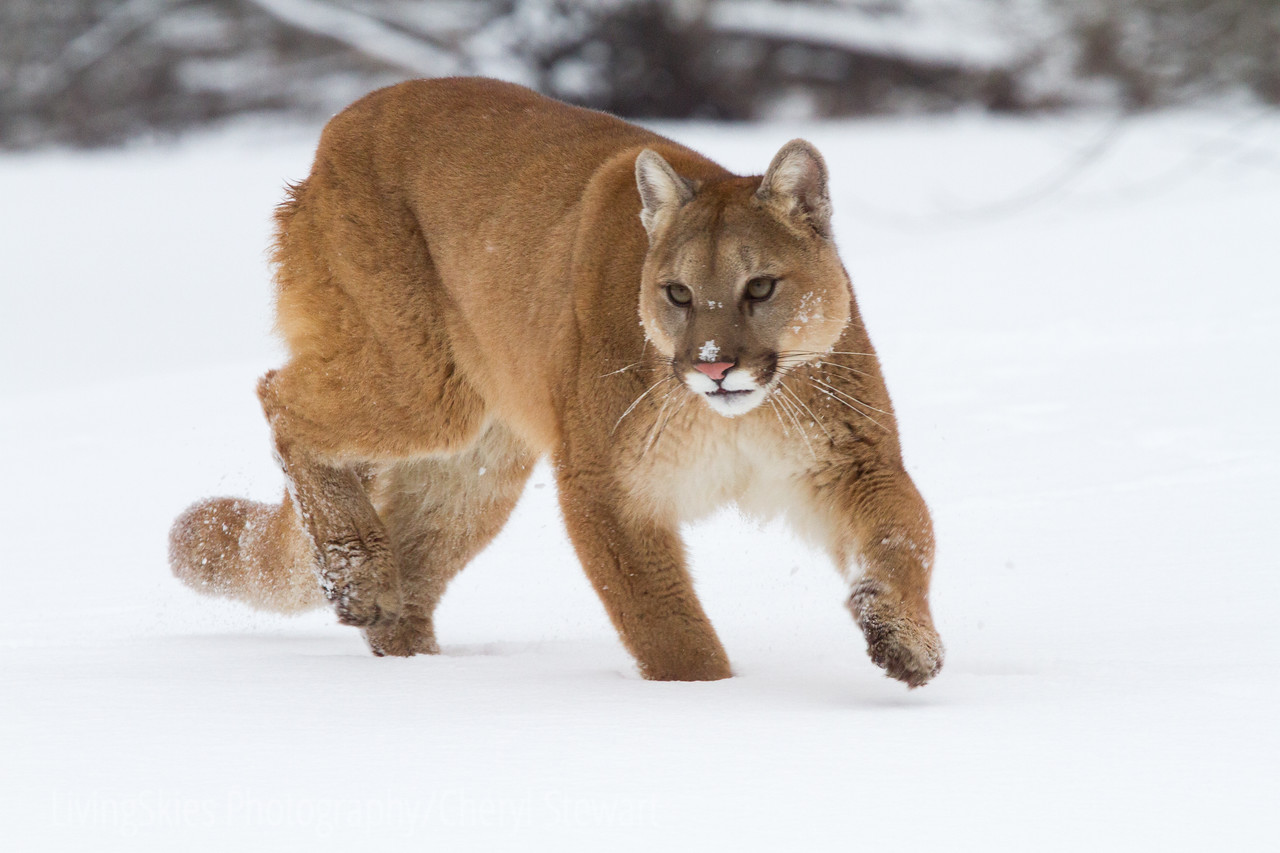 Mountain Lion, Cougar