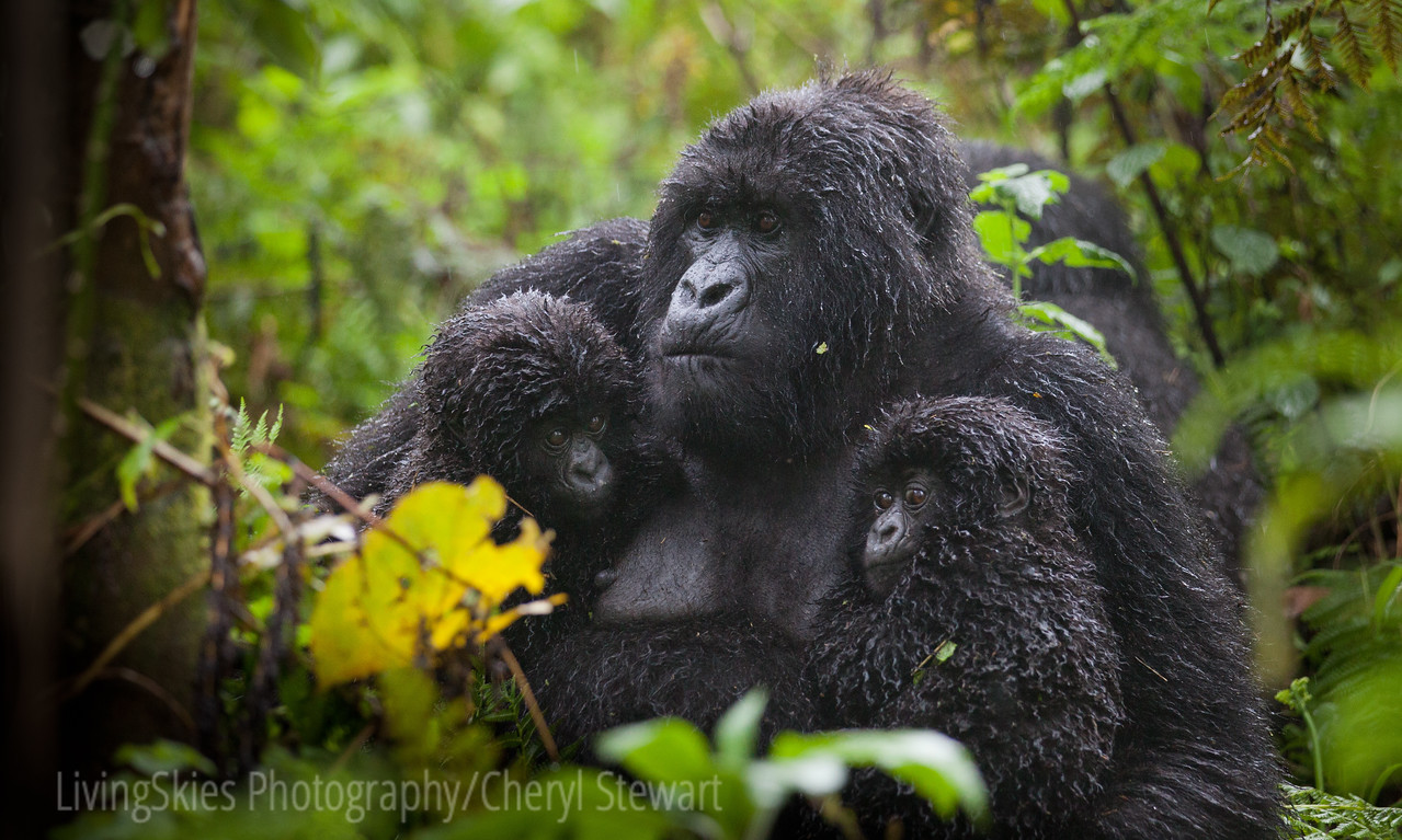 This gorilla held her twin babies close while it rained on us all. Twins are very rare.