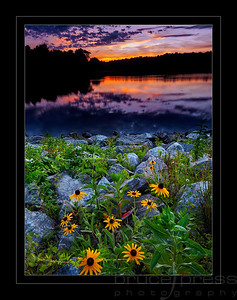 Blackeyed Susan Sunset