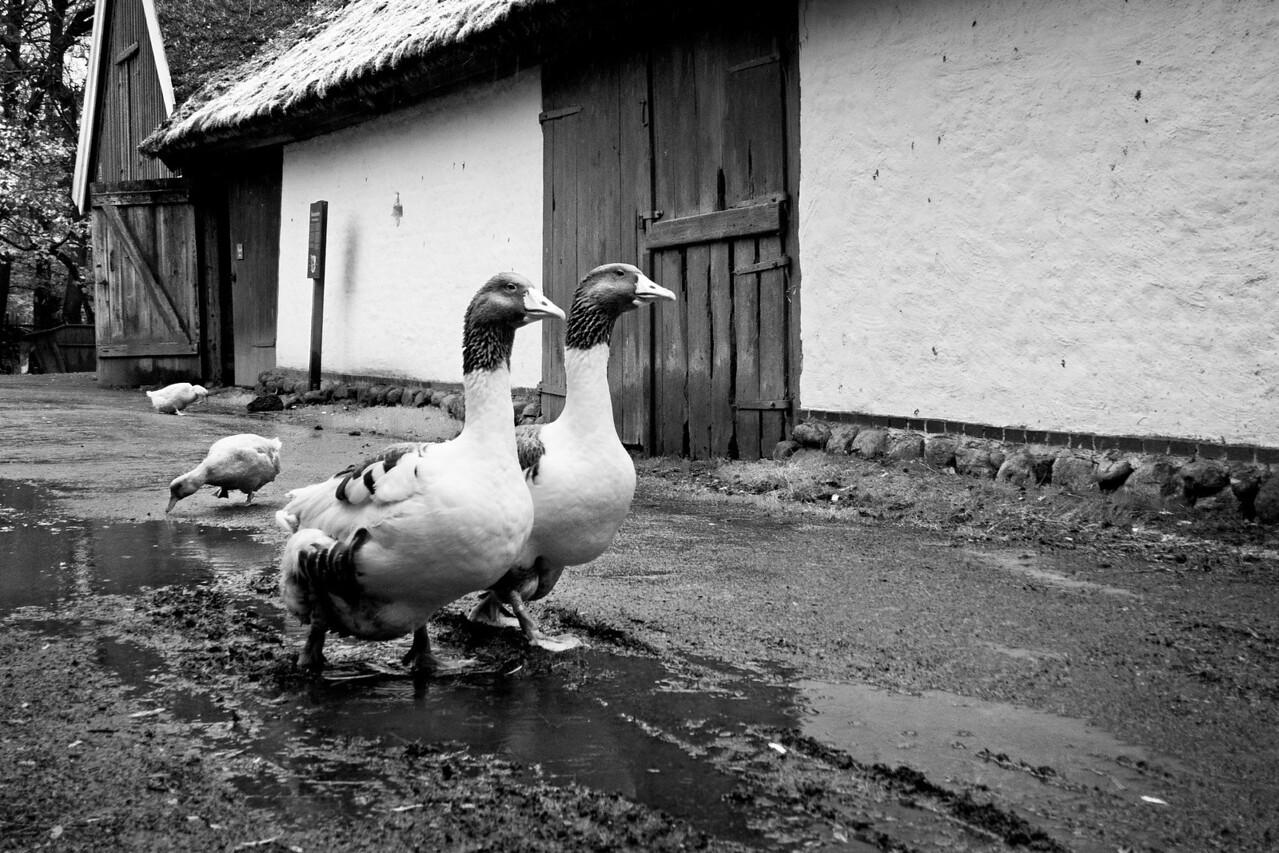 Gooses / Гуси