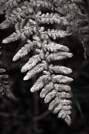 Variegated Fern bw