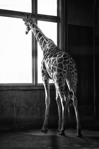 Giraffe at Window