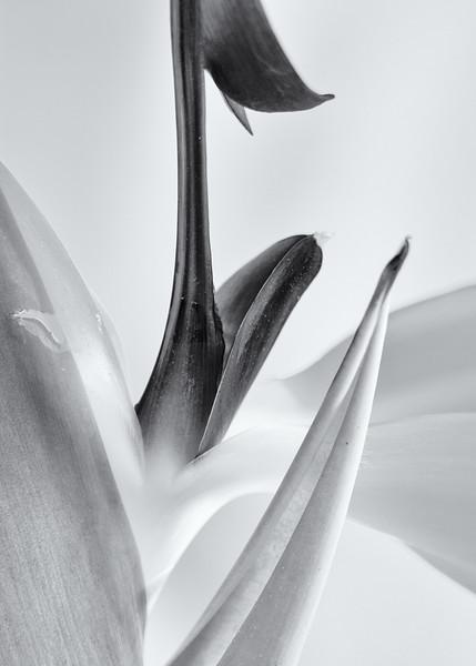 Bird of Paradise Close-up