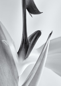 Bird of Paradise Close-up