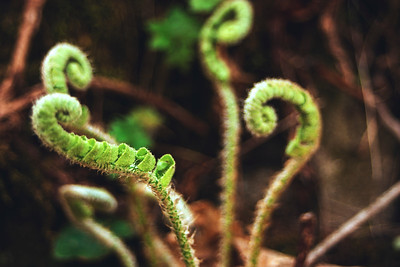Budding Ferns
